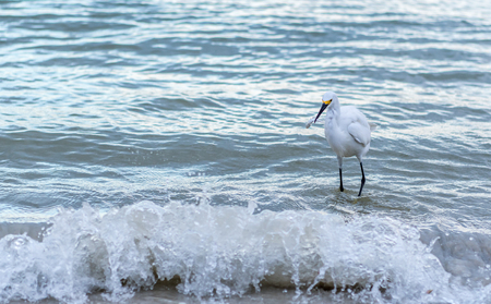 Wave Crashes in Front of Snowy Egret with Fish in its beak Stock Photo