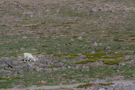 Single Hungry Mountain Goat in Rocky Alpine Meadow Stock Photo