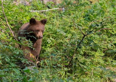 Bear Cub Walks Through Forest Foliage in Wyoming Mountains Stock Photo