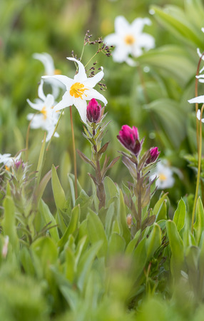 Scarlet Paintbrush and Avalanche Lily in Alpine FIeld Stock Photo