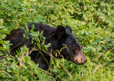 Black bear walks through thick bushes in wilderness