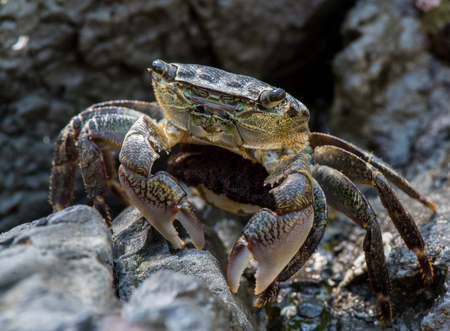 Crab Pauses While Scurrying Across Rocks in tide pool Stock Photo