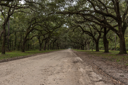 Side View of Dirt Road with Live Oak Trees and Spanish Moss