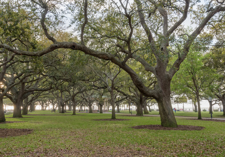Live Oak Trees Stand at Attention in White Point Garden in Charleston