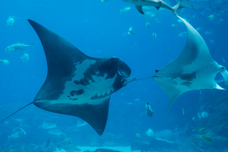 Large Rays Swim among school of fish in large tank