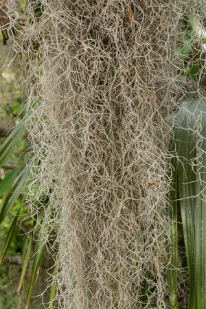 Close Up of Spanish Moss Hanging in live oak tree