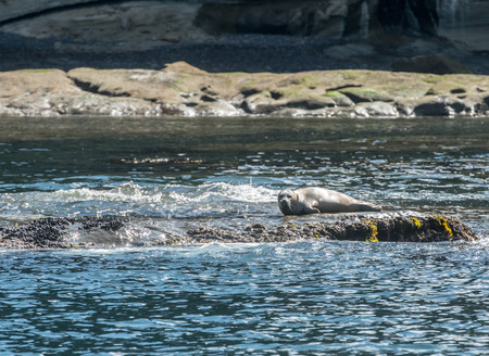 Seal Rests on Rock in Pacific Ocean along Oregon coast Stock Photo