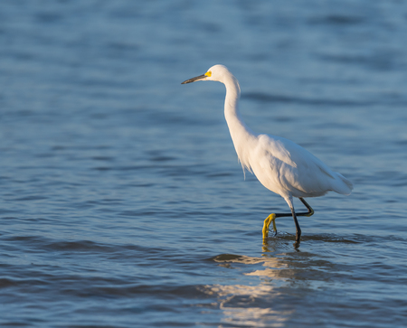 Snowy Egret Takes Step in shallow coastal water Stock Photo