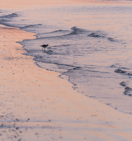 Willet Hunts in The Surf in pink sunrise reflection