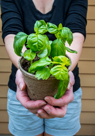 Woman Offers Young Basil Plant