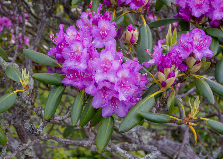 Rhododendron Flowers Bloom in Late Spring in Appalachian Mountains Imagens