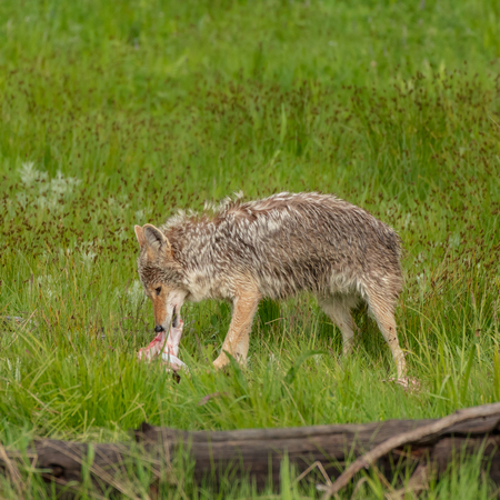 Profile of Coyote Eating Piece of Meat in green field Stock Photo