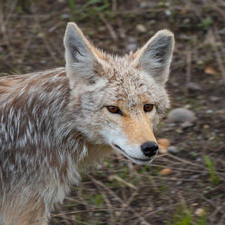 Face of Wild Coyote Prowling Through Valley