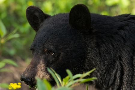 Close up on Face of Black Bear in Field
