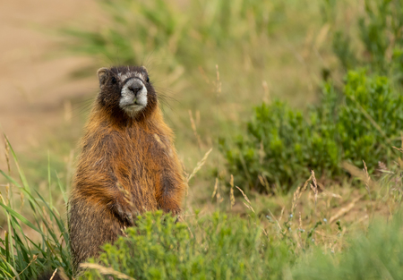 Chubby Marmot Sits Up and Looks Around in Green Field