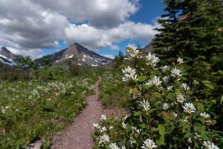 Flowers Along Trail Through Two Medicine Wilderness Area Stock Photo
