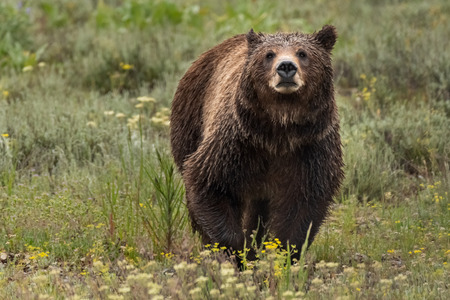 Face View of Grizzly Bear in Summer Field Stock Photo