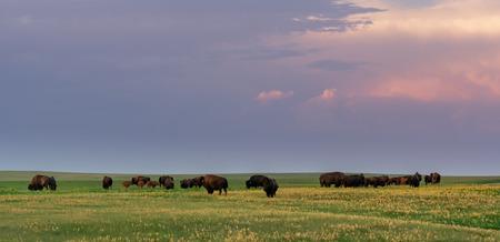 Evening Light Shines Over Herd of Grazing Bison in field