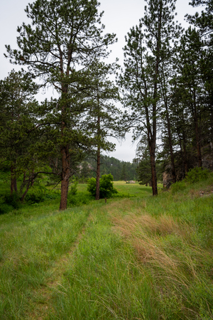Grassy Trail Through Trees in Canyon in Black Hills