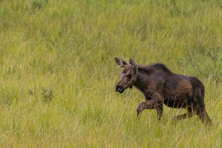 Moose Foal Runs Through Field with copy space to left