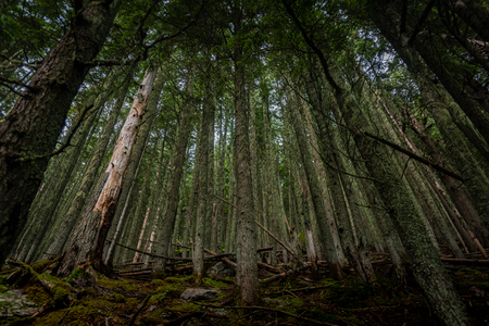 Mossy Trees and Blowdowns in thick forest in Glacier National park Stock Photo