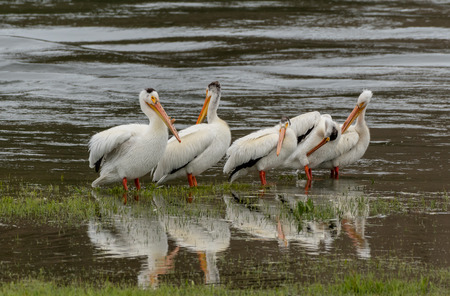 Pelicans Wade in Shallow Lake Waters in a group