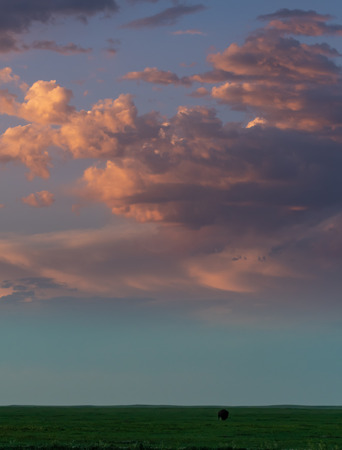Pink Clouds Over Dim Grass Field with Single Grazing Bison