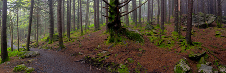 Panorama of Mossy Forest Floor on foggy summer day Stock Photo