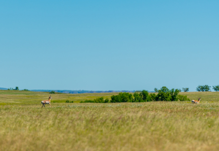 Two Prong Horn Run Across Prairie in North Dakota park