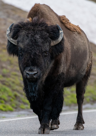 Buffalo Walks Along Paved Road in Yellowstone