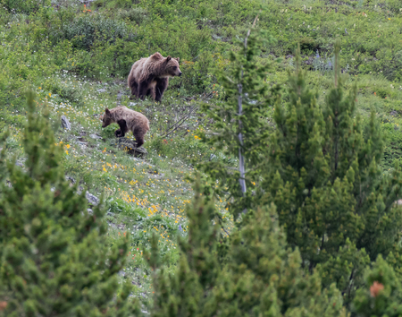 Grizzly Mother and Cub Through Trees