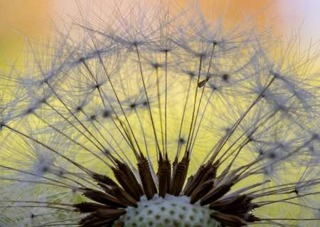 Detail of Dandelion Petals with varying colors behind