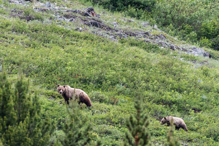Grizzly Mother and Yearling graze on slope of summer mountainside