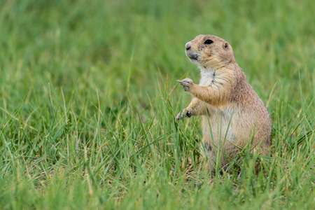 Groundhog holds out middle finger in grassy field