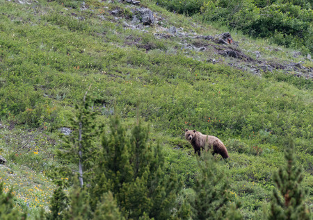 Long Grizzly Bear Looks Back toward cub on mountain slope