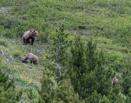 Grizzly Mother Looks Back and Slower Cub