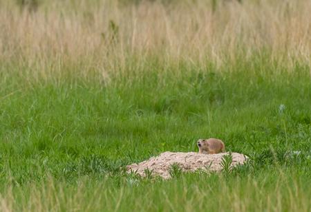 Prairie Dog Chirps Outside Mound in Prairie Dog Town
