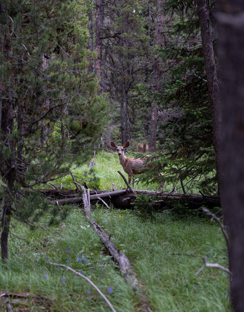 Curious Deer Stands Still in Pine Forest