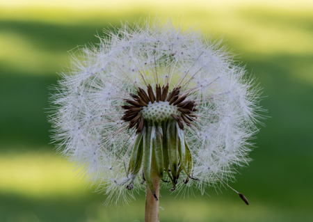 Dandelion Petals with close up of center in front of green background