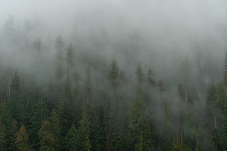 Fog Creeps Throughout Pine Forest in Washington Forest