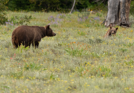 Grizzly Bear and Cub in Summer Field in Wyoming