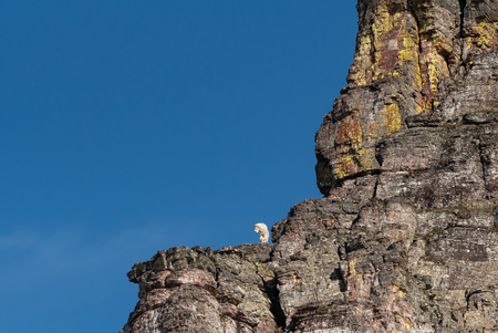 Mountain Goat On Lichen Covered Cliff next to blue sky