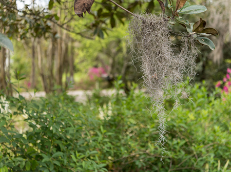 Spanish Moss Clings to Small Branch in Southern garden