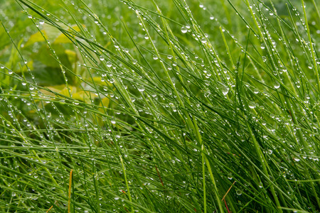 Beads of Rain Cling to Long Grass