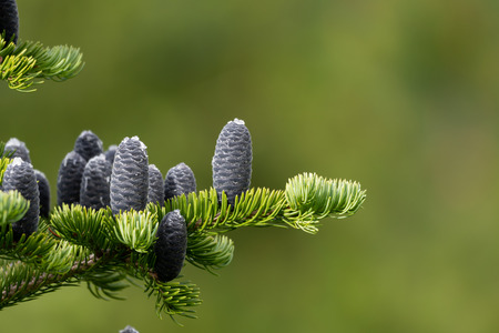 Black Pine Cones Grow On Pine Boughs Stock fotó - 121580788