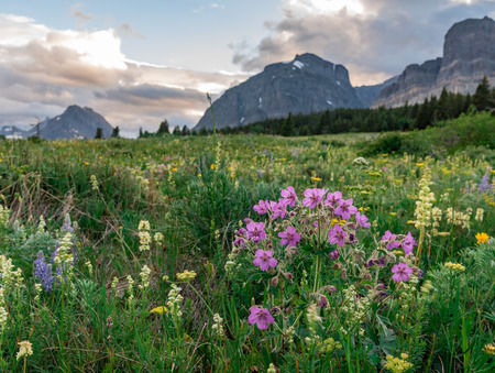Field of Wildflowers in front of Montana Mountains in Summer 版權商用圖片