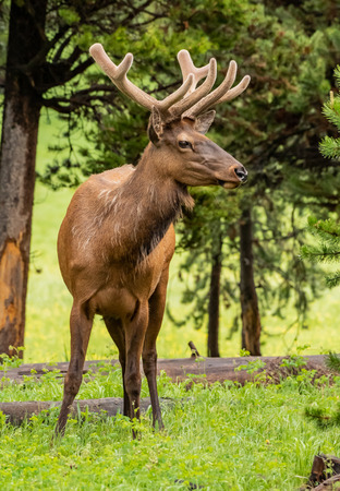 Profile of Elk Face with Soft Antlers Still Growing in Summer