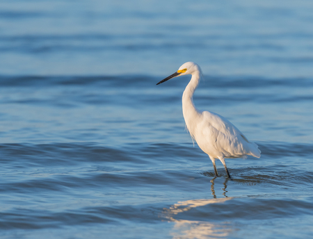 Snowy Egret Wades in Rippling Water in Gulf of Mexico