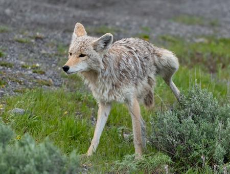 Kojote uriniert auf grünen Busch im Feld Standard-Bild