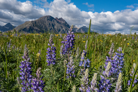 Lupine in Wildflower Field in Montana Wilderness